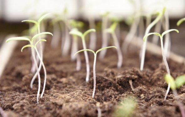 Сеют семена астры многолетней
