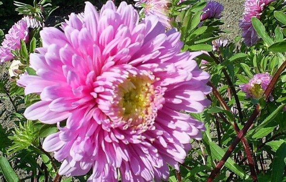 Астры — выращивание рассады