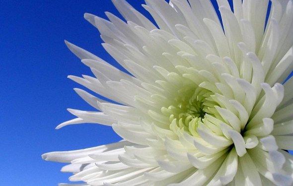 Астра цветок фото
