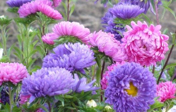 цветы многолетние астры