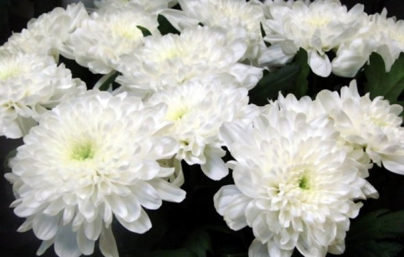 Мелкоцветные белые хризантемы