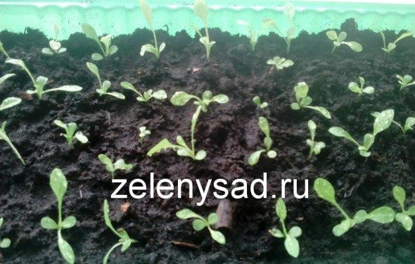 выращивать астры из семян