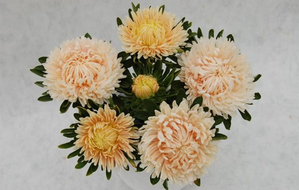 Семена цветов Астры Сиринга