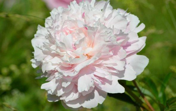 Морозостойкие цветы для клумбы