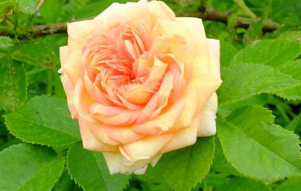 Роза плетистая кремовая
