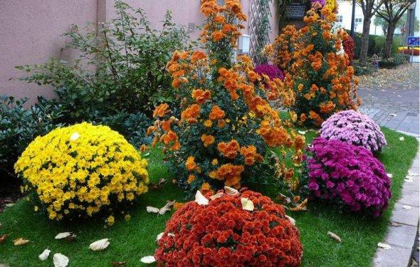Уход за садовыми хризантемами
