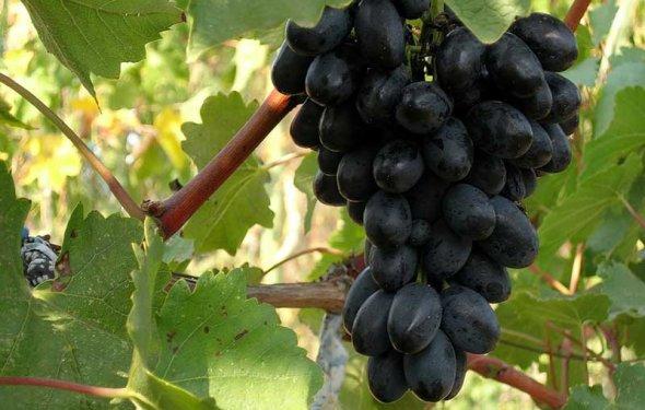 фото сорта Кодрянка виноград