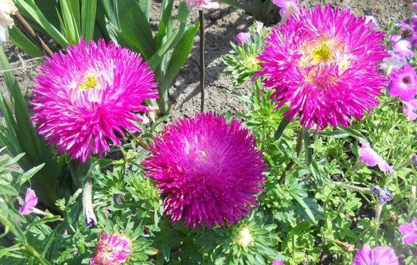 Выращивание цветов астры 71